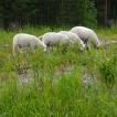 lampaat-joutteen-niitty